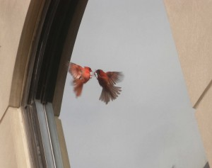 cardinal-at-window-2-300x237