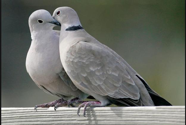 Paloma de luto, identificación, todo sobre pájaros - laboratorio de Cornell de la ornitología