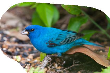 Bird-IndigoBunting