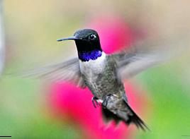 Black-ChinnedHummingbird
