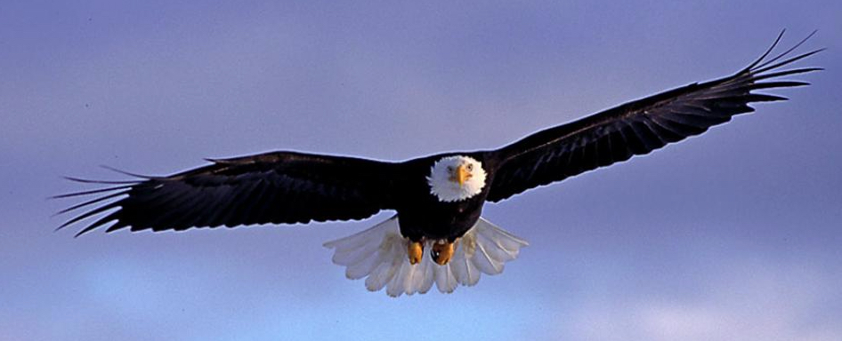 The Bald Eagle: Cole's Bird of the Month for July Featured Image