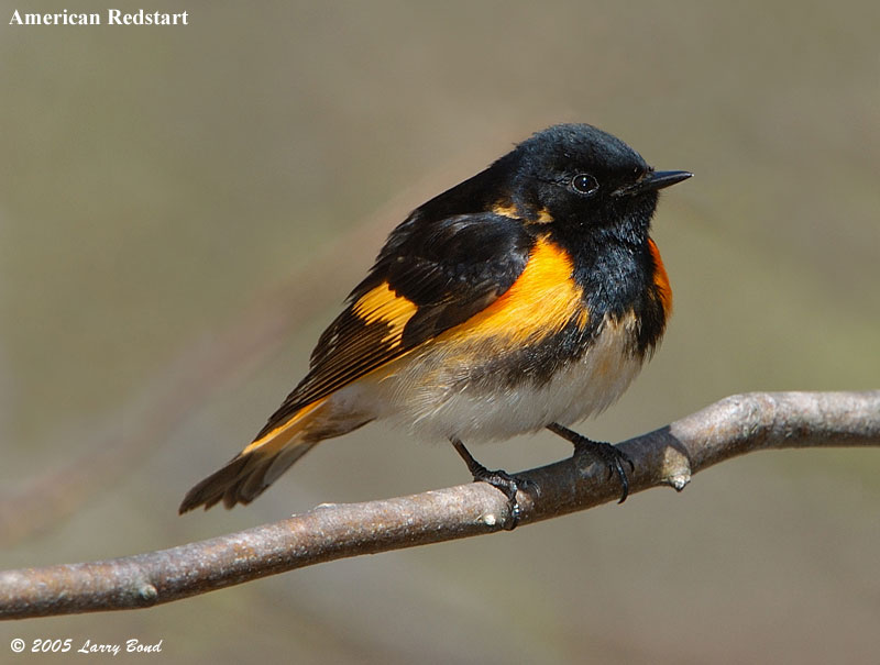 The American Redstart: Cole's Bird of the Month for September Featured Image
