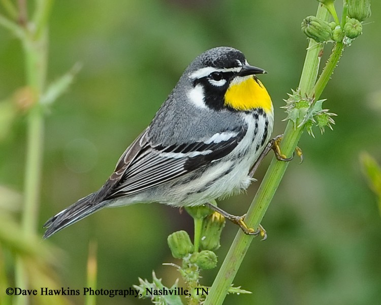 Yellow throated Warbler Featured Image