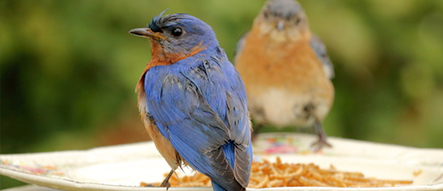 Birds that Like Dried Mealworms