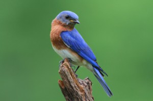 Bluebird vs. Bluejay Featured Image