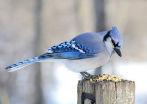 A blue jay perched on a post with bird seed.