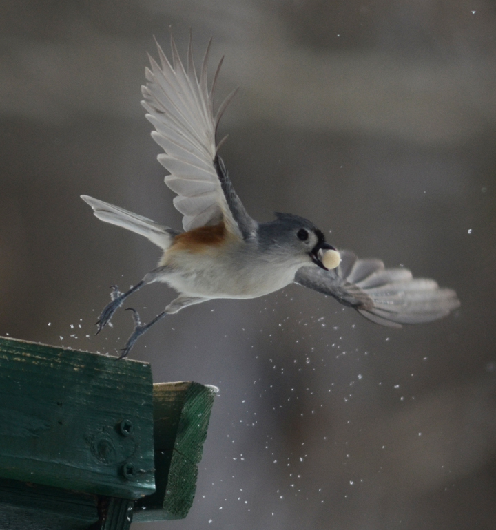 titmouse-take-off-good-for-joan