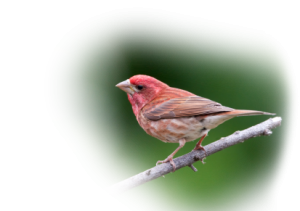 How Do You Tell a House Finch From a Purple Finch? Featured Image