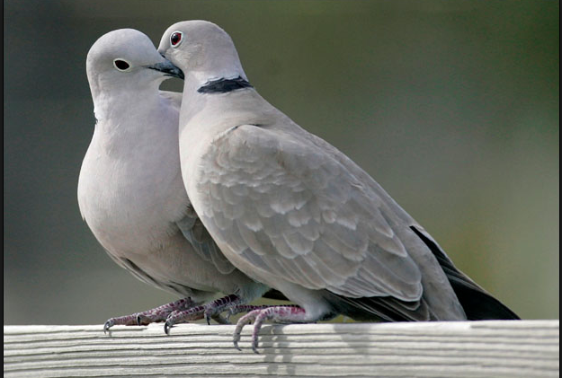 learn about turtle doves cole s wild bird feed