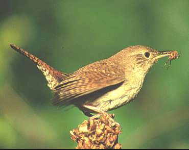 House Wren: Coleu0027s Bird Of The Month For October Featured Image