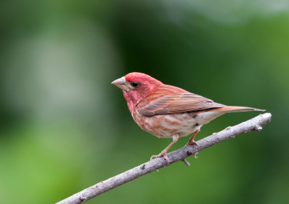 Purple Finch: Cole's Bird of the Month for January Featured Image