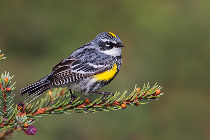 Yellow-rumped Warbler: Cole's February Bird of the Month Featured Image