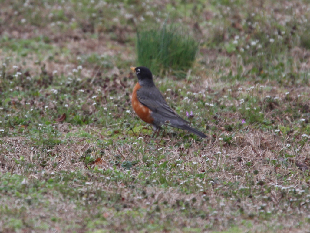 American Robin: Cole's Bird of the Month for April Featured Image