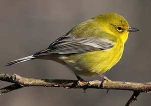Pine Warbler: Cole's Bird of the Month for June Featured Image