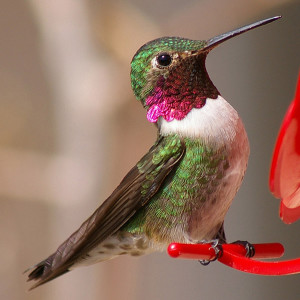 Broad-Tailed Hummingbird: Cole's Bird of the Month for August Featured Image
