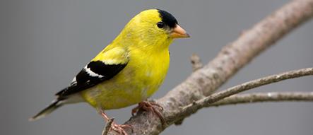 Birds that Like Finch Friends