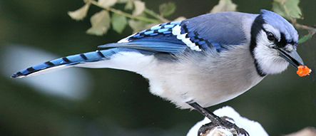 Birds that Like Suet Kibbles