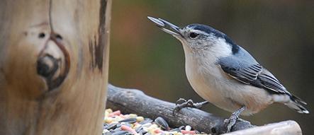 Birds that Like Sunflower Meats